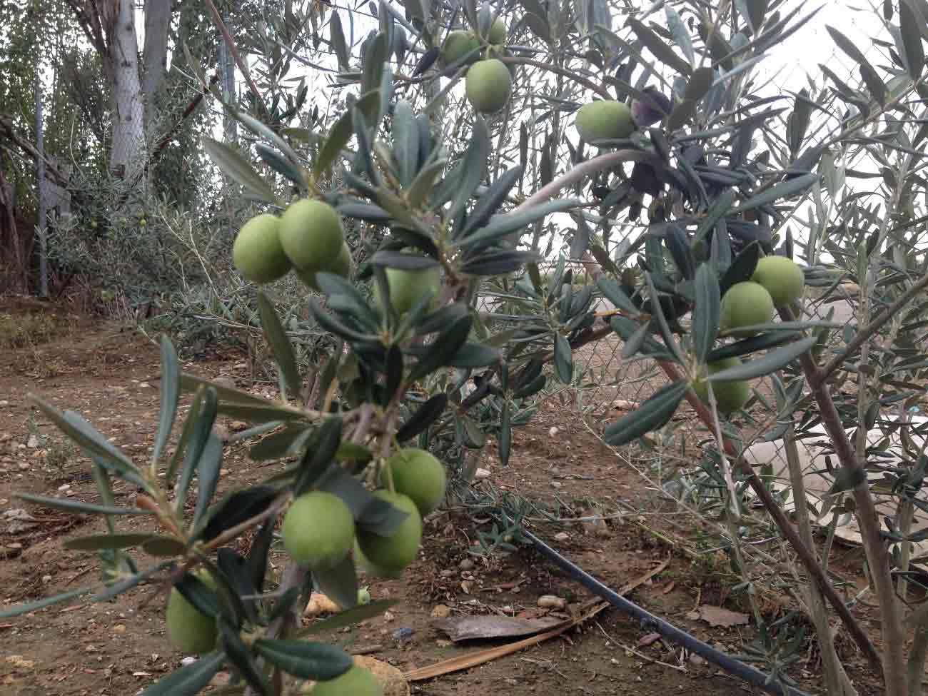 Viveros la conchuela plantones de olivo for Viveros de olivos