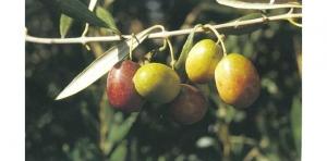 Variedad de Olivo Verdial