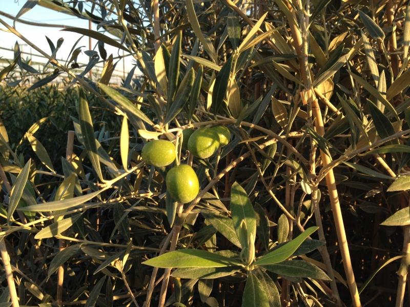Variedad de olivo Lechín