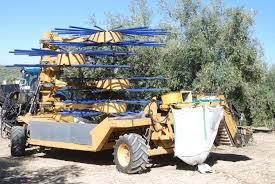 Cosechado olivar tradicional